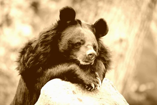 moon-bear-portrait